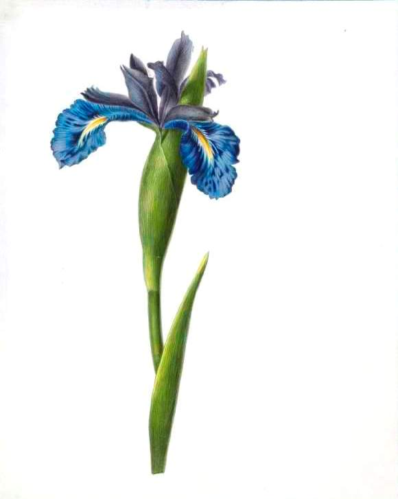 Botanical - Flower - Iris - Blue Iris illustration