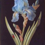 Botanical - Flower - Iris - Blue  Iris on Black (2)
