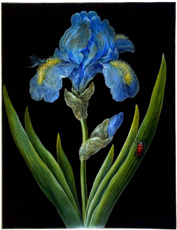 Botanical - Flower - Iris - Blue  Iris on Black (3)