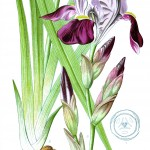 Botanical - Flower - Iris - Germanic