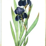 Botanical - Flower - Iris - Iris germanica, black