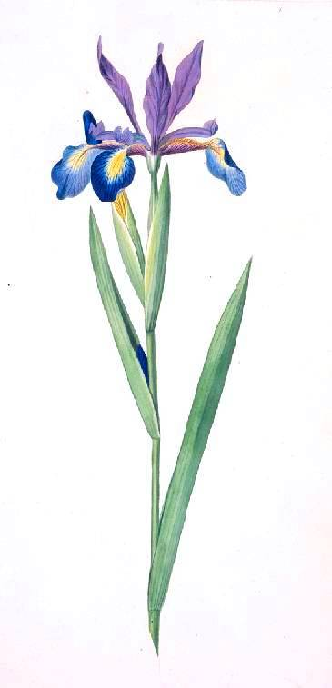 Botanical - Flower - Iris - Iris spuria
