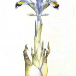 Botanical - Flower - Iris - Persian Iris