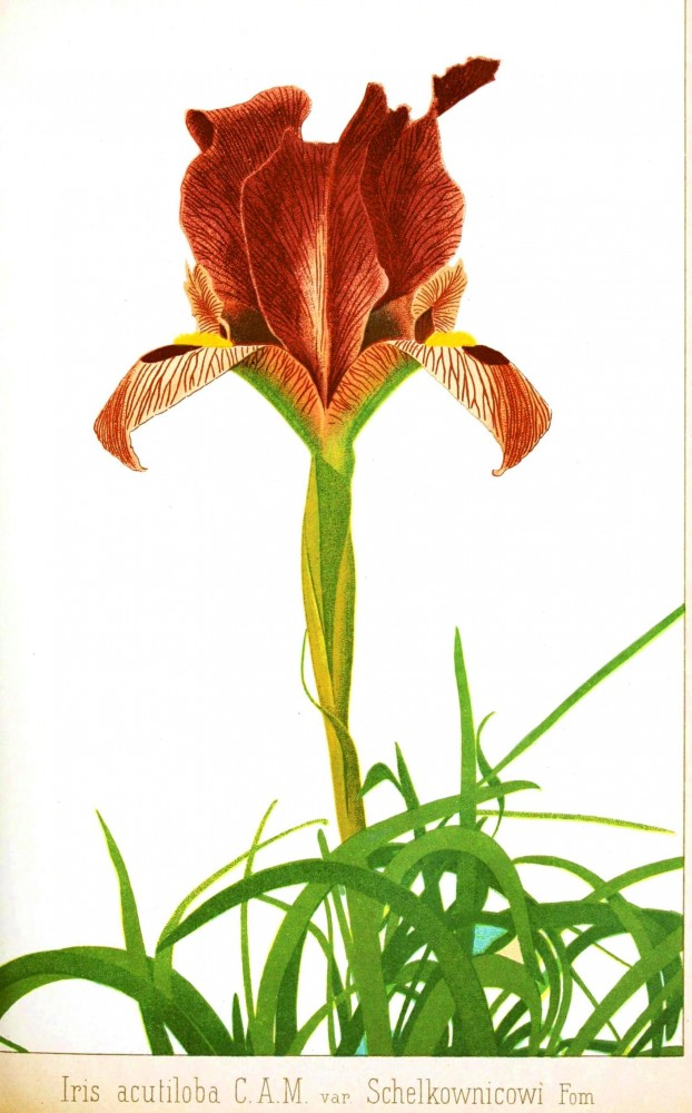 Botanical - Flower - Iris - Russian 2