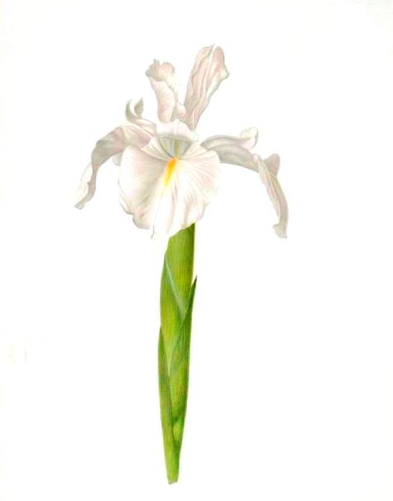 Botanical - Flower - Iris - White Iris illustration 2