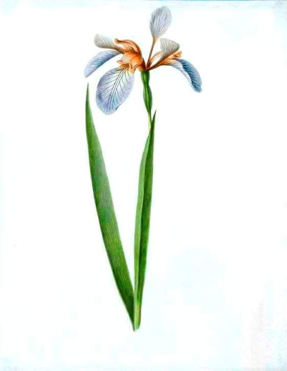 Botanical - Flower - Iris - White Iris illustration