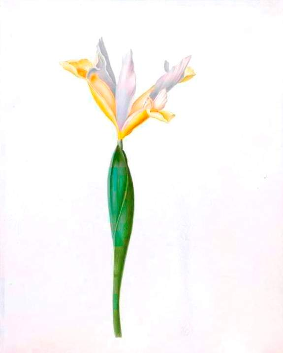 Botanical - Flower - Iris - White and yellow iris illustration