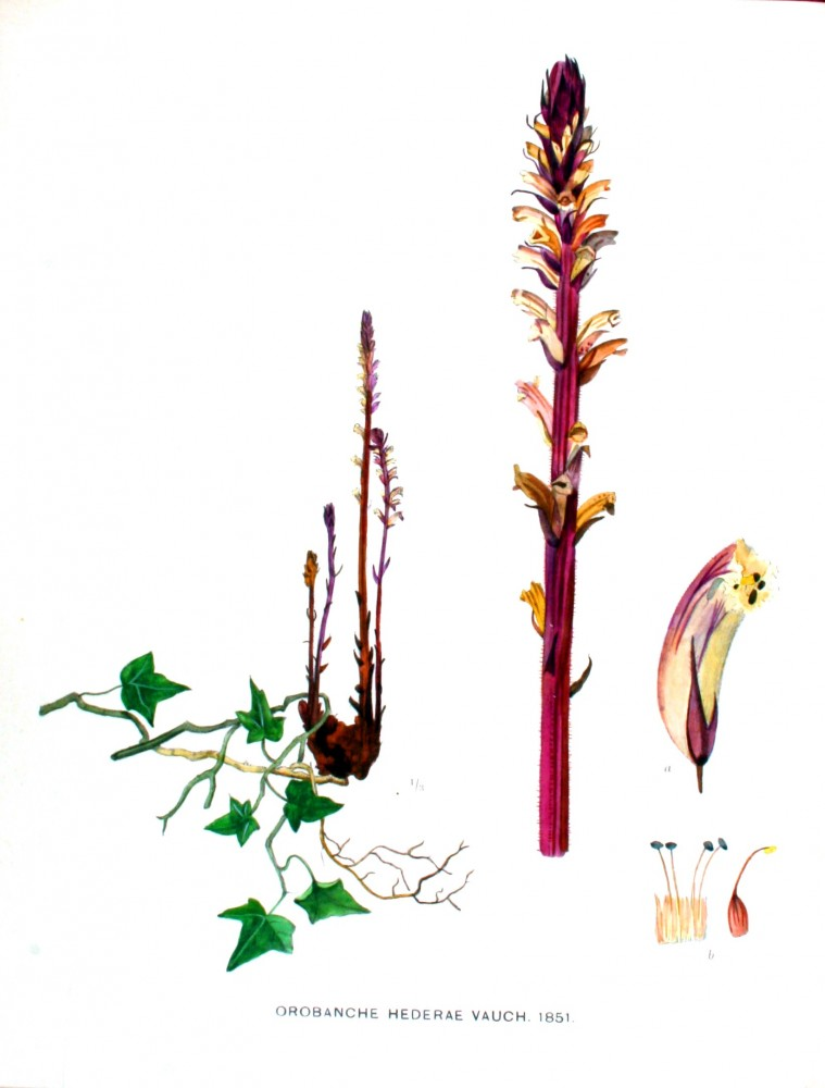 Botanical - Flower - Monotropa