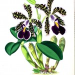 Botanical - Flower - Orchid - Dark purple looking black