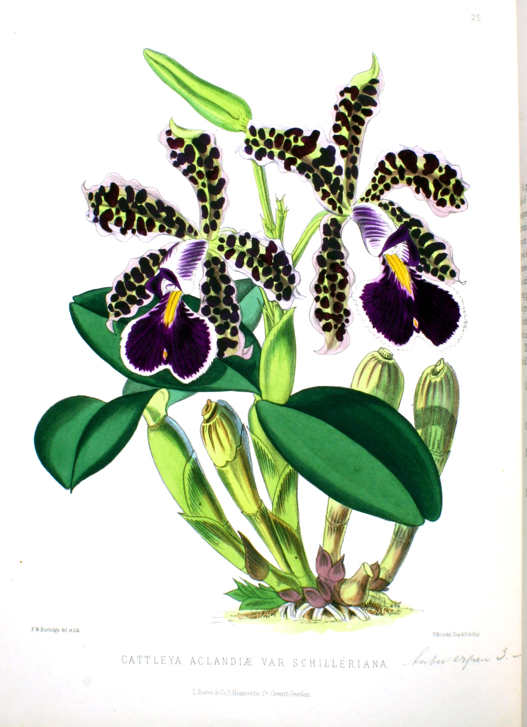 Botanical Flower Orchid Dark Purple Looking Black