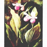 Botanical - Flower - Orchid - Lady Slipper