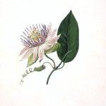 Botanical - Flower - Passion flower - Passiflora laurifolia