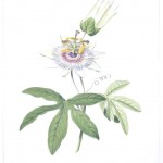Botanical - Flower - Passion flower - Passiflora species