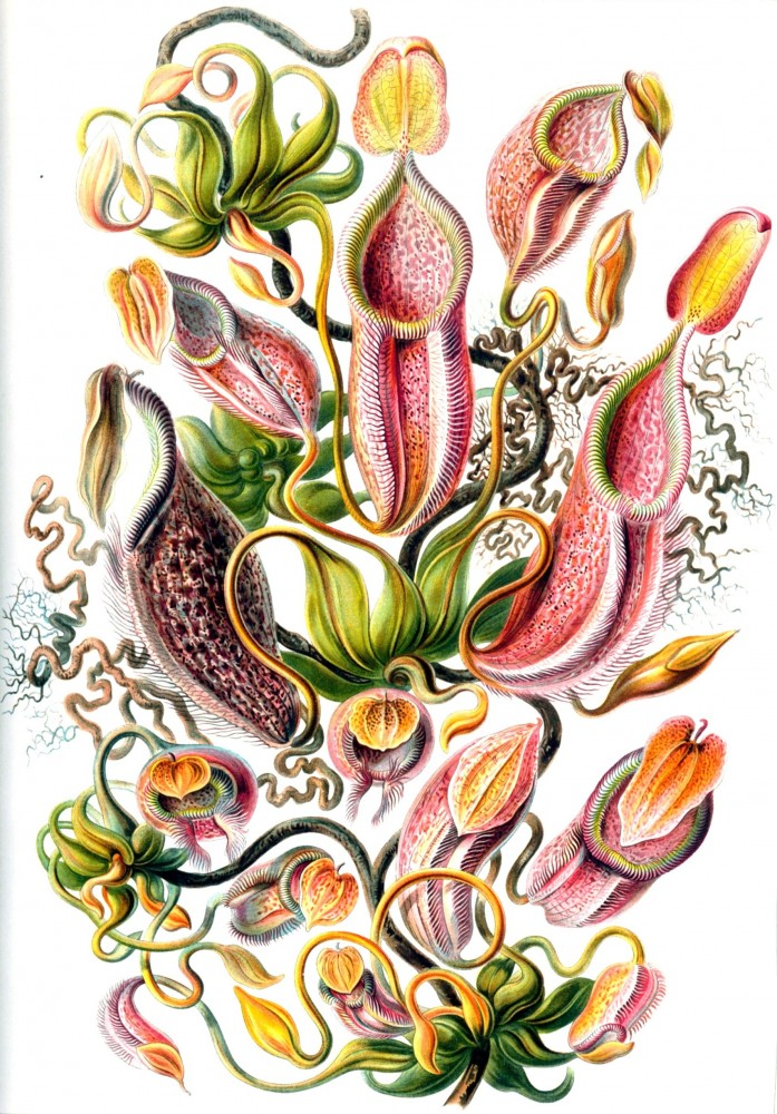 Botanical - Flower - Pitcher Plant - Haeckel