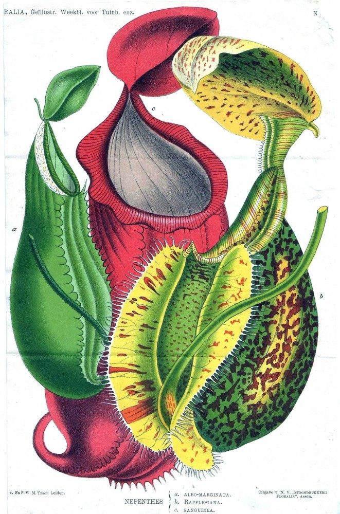Botanical - Flower - Pitcher Plant  - Nepenthes