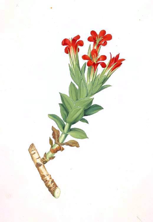 Botanical - Flower - Red tuber