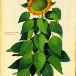 Botanical - Flower - Sunflower - Italian (1)