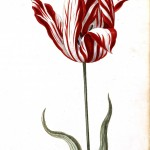 Botanical - Flower - Tulip - 17th Century