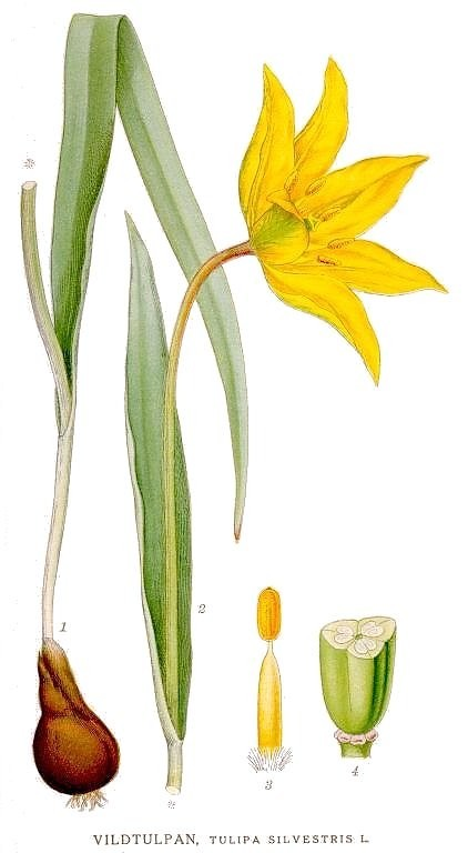Botanical - Flower - Tulipa silvestris