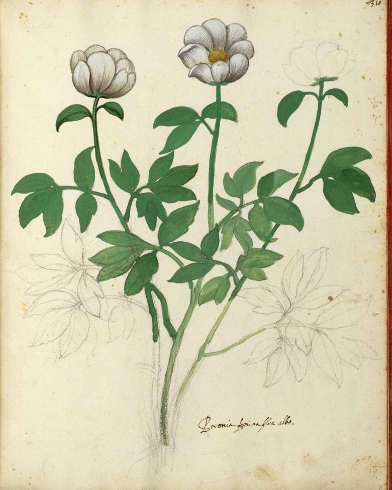 Botanical - Flowering plant - Italian (3)