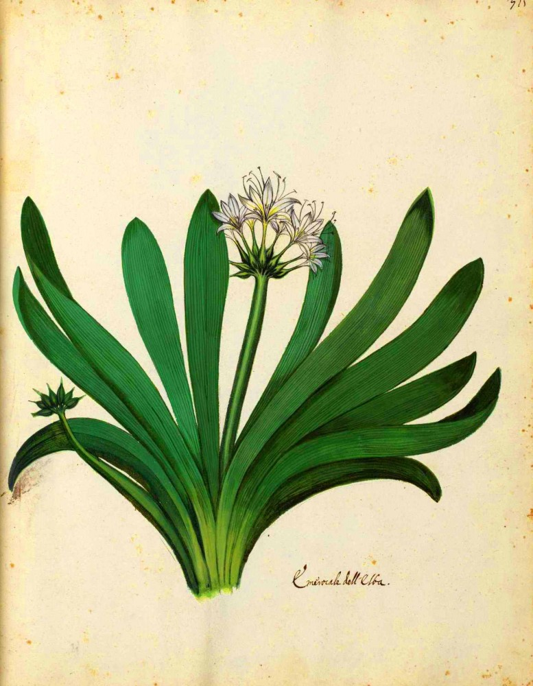 Botanical - Flowering plant - Italian (4)