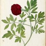 Botanical - Flowering plant - Italian (5)
