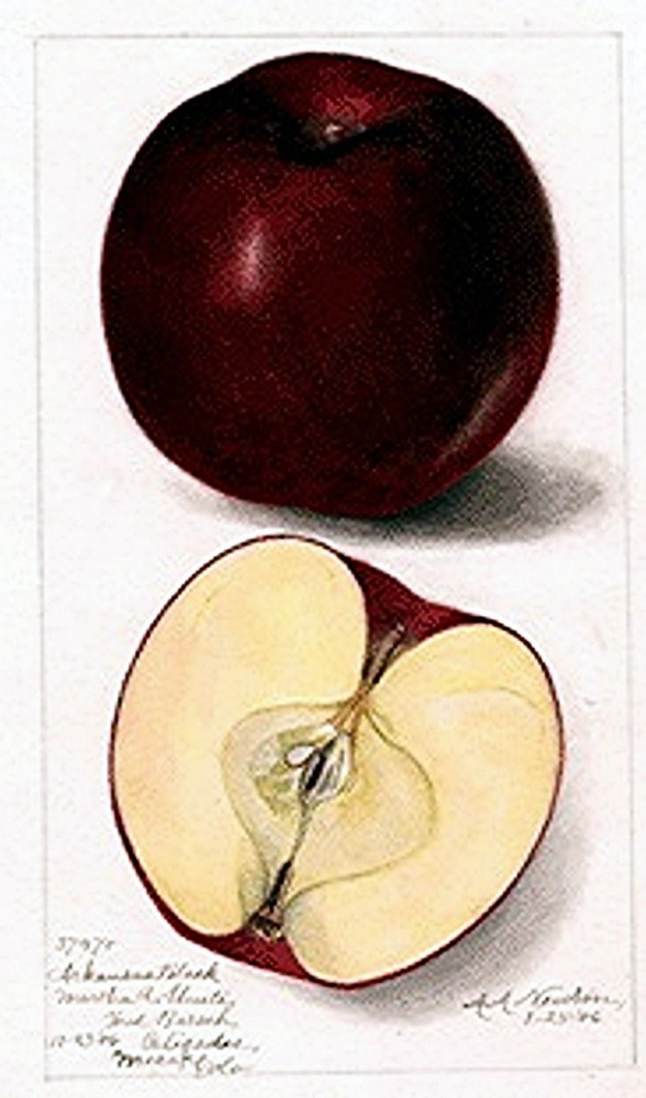 Botanical - Fruit - Apple 1