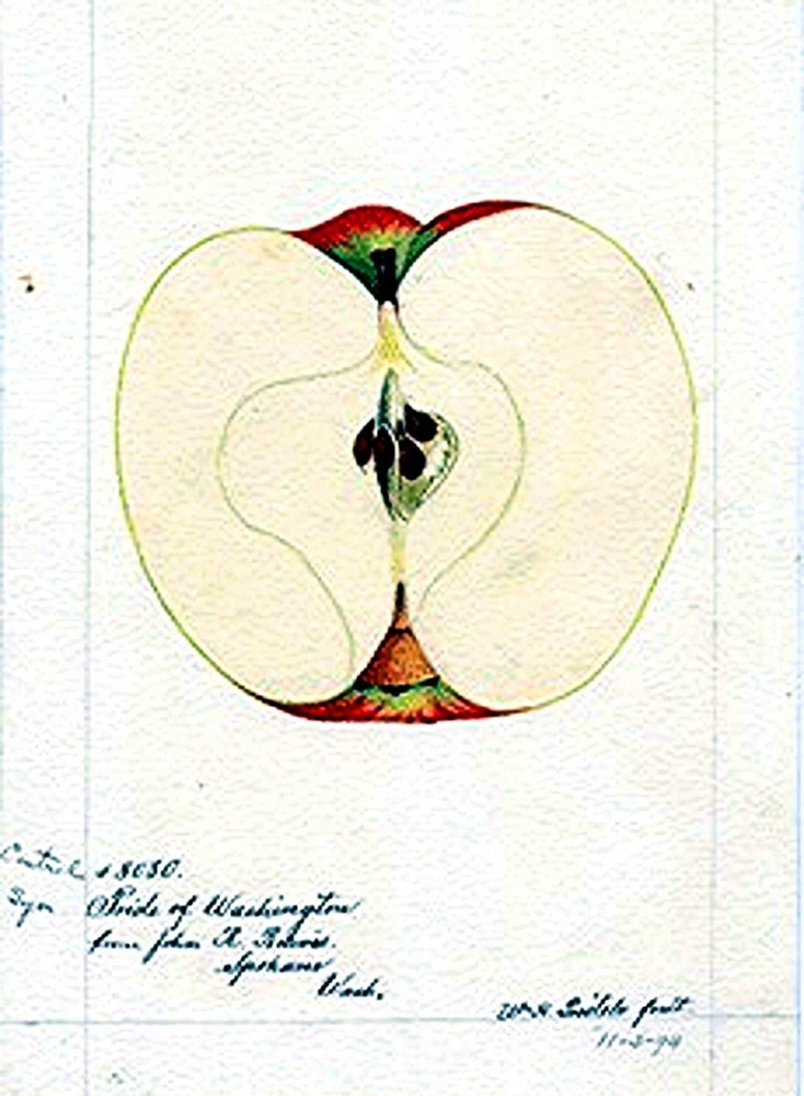 Botanical - Fruit - Apple 2