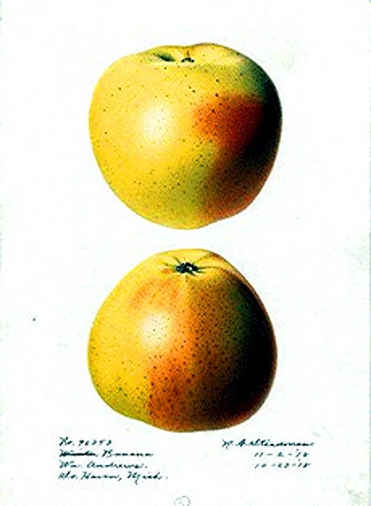 Botanical - Fruit - Apple 3