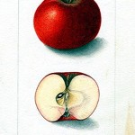 Botanical - Fruit - Apple 4