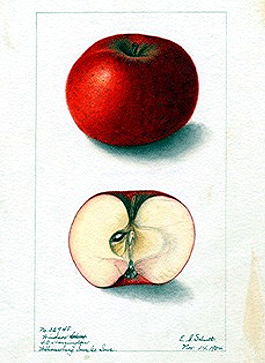 Apple Fruit Drawing Botanical fruit apple 4
