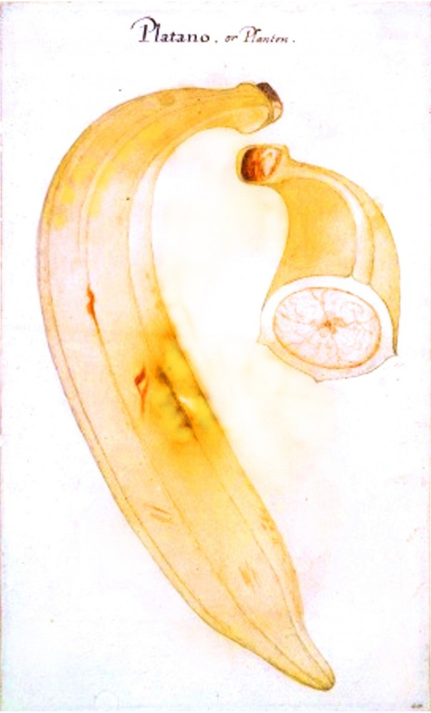 Botanical - Fruit - Banana - 18th Century