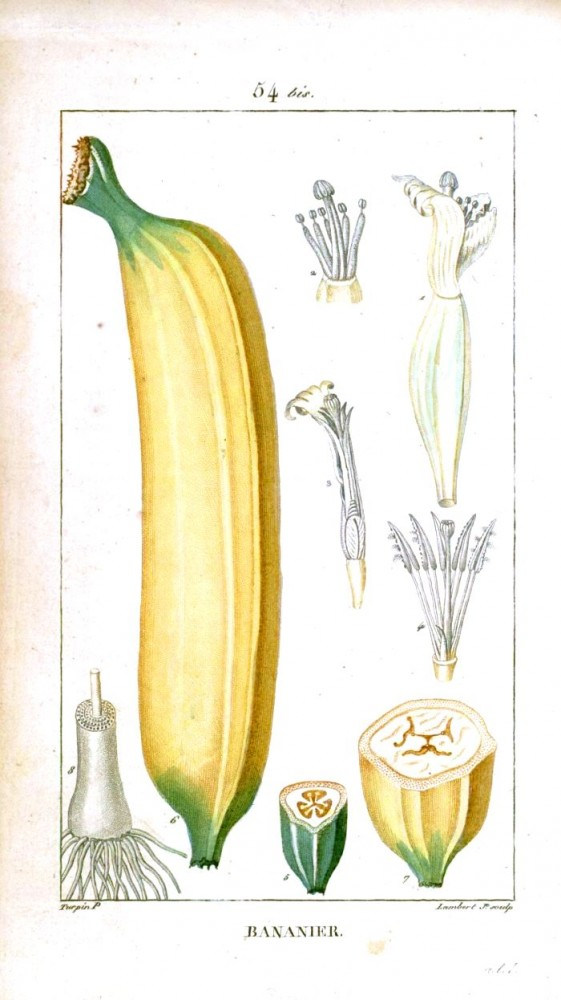 Botanical - Fruit - Banana - Educational plate