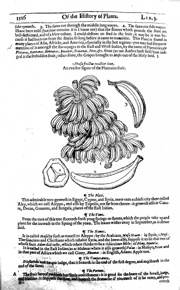 Botanical - Fruit - Banana - Engraving