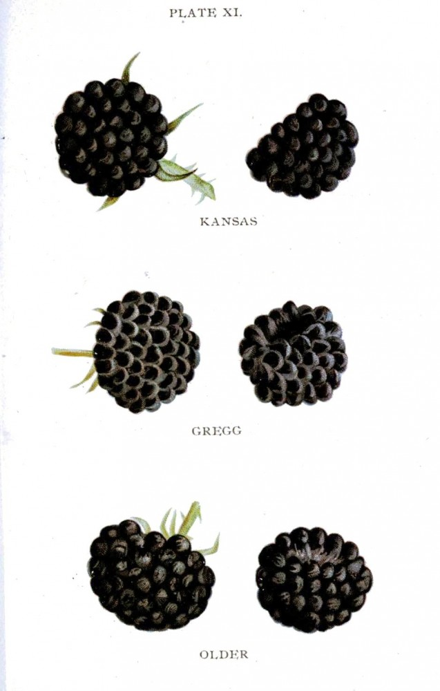 Botanical - Fruit - Biggles Berry Book -1899 - Blackberry