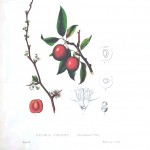 Botanical - Fruit - Chicksaw Cherry