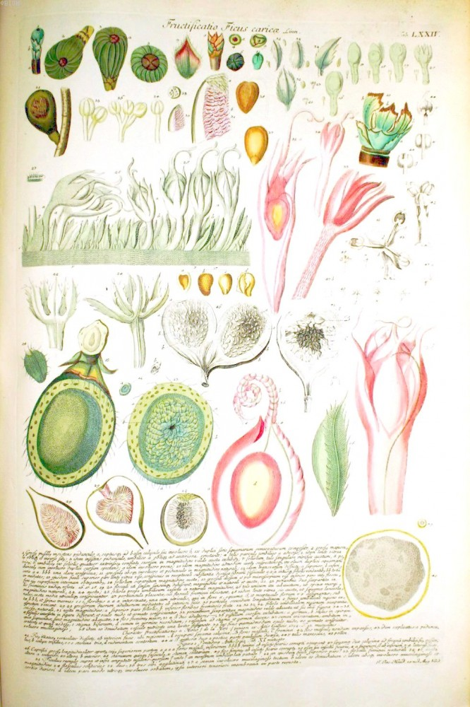 Botanical - Fruit - Educational plate - fig