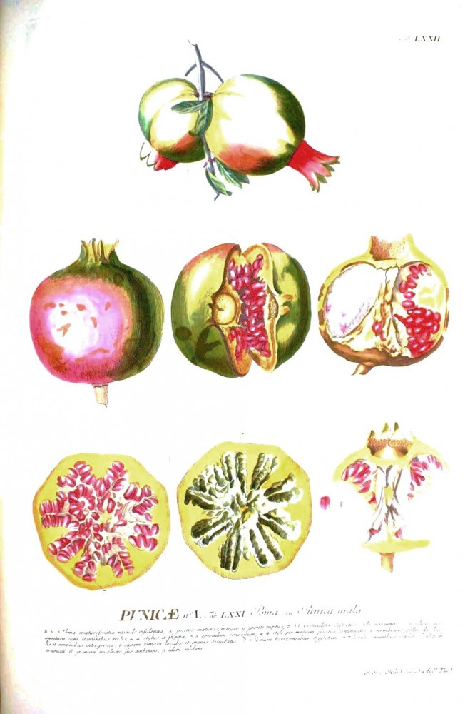 Botanical - Fruit - Educational plate - pomegranate