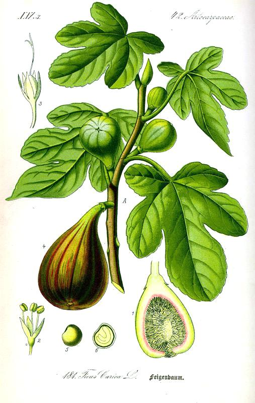 Botanical - Fruit - Ficus, fig tree