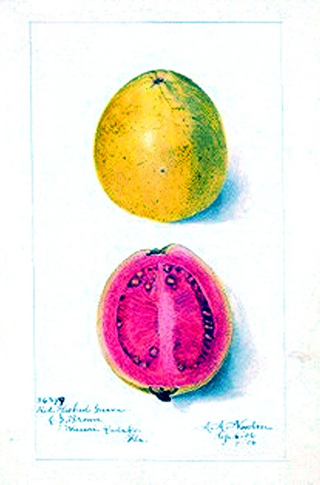 Botanical - Fruit - Guava