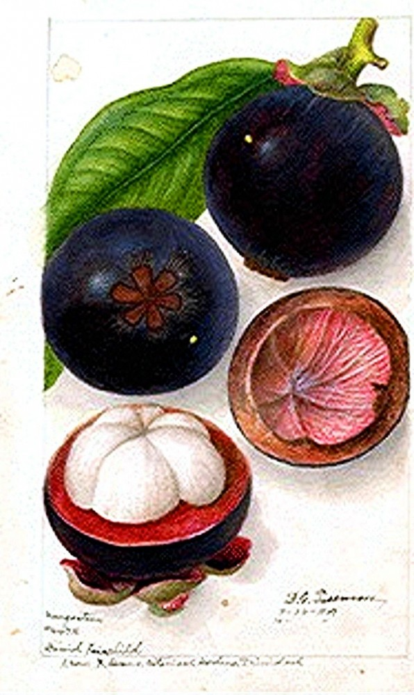 Botanical - Fruit - Mangosteen