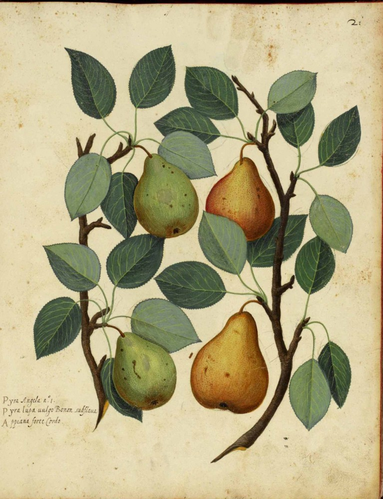 Botanical - Fruit - Pear - Italian (1)