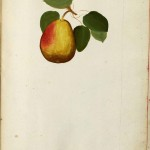 Botanical - Fruit - Pear - Italian (2)