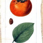 Botanical - Fruit - Persimmon