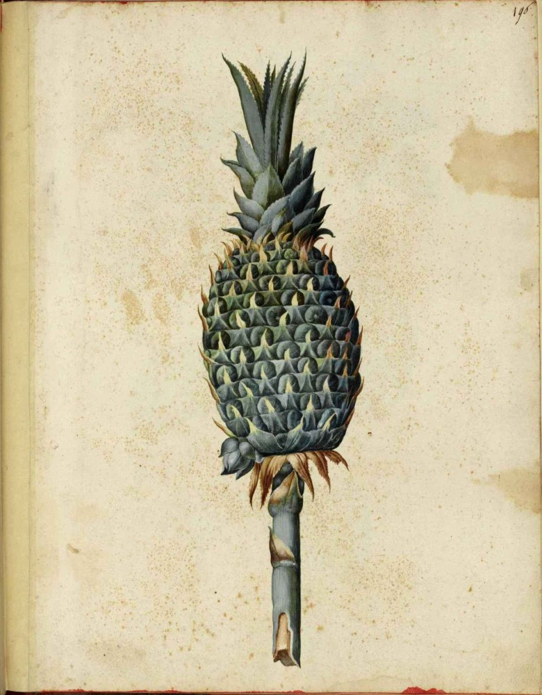 Botanical - Fruit - Pineapple - Italian