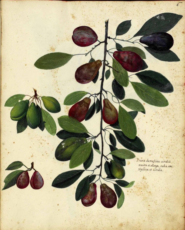 Botanical - Fruit - Plums - Italian (1)