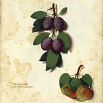 Botanical - Fruit - Plums - Italian (2)