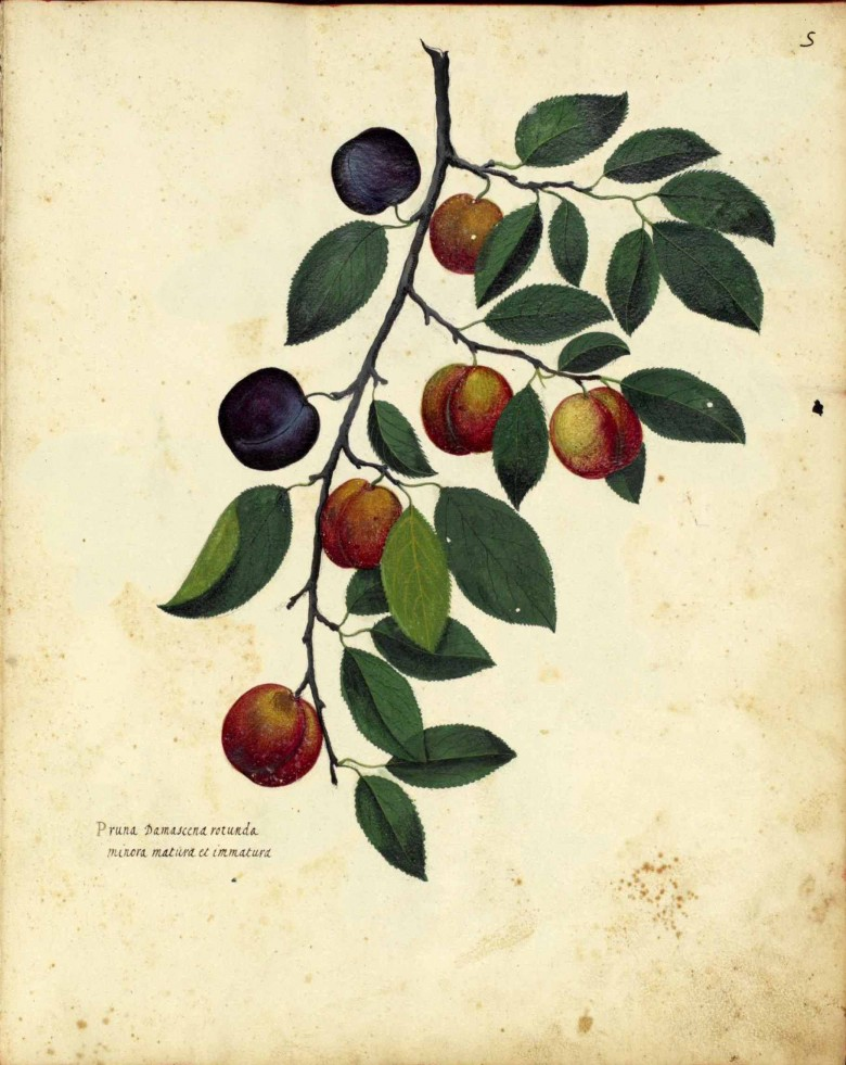 Botanical - Fruit - Plums - Italian (3)