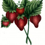 Botanical - Fruit - Strawberry