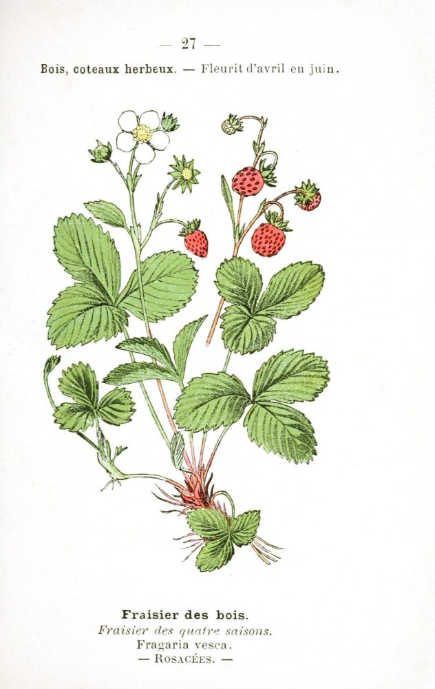 Botanical - Fruit - Strawberry (2)